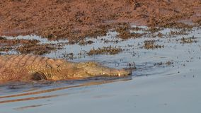 Nile crocodile going for a swim Royalty Free Stock Images
