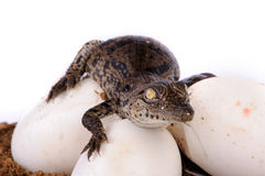 A nile crocodile hatching Royalty Free Stock Images