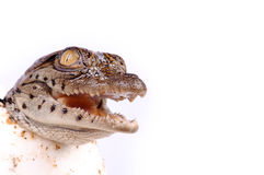 A nile crocodile hatching. From an egg Stock Photos