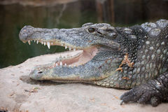 Nile Crocodile Head Closeup Royalty Free Stock Photos
