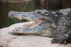 Nile Crocodile Head Closeup. Nile crocodile (Crocodylus niloticus) with open mouth, head close-up Royalty Free Stock Photos