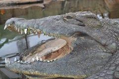 Nile Crocodile Stock Image