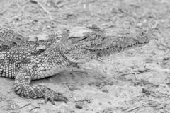 Nile Crocodile images libres de droits
