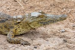 Nile Crocodile image stock