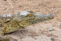 Nile Crocodile imagen de archivo libre de regalías