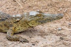 Nile Crocodile imagen de archivo