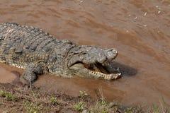 Nile Crocodile, Kenia, África imagenes de archivo
