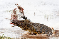 Nile Crocodile With Kill in Mara River. Large Nile crocodile spinning out of the water of the Mara River while throwing a carcass in the air Stock Photography