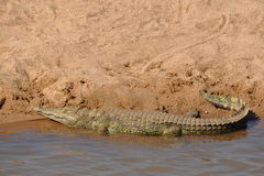 Nile crocodile in Kruger national park,South Afric. Photo taken in Limpopo river on border Mosabique and South Africa Royalty Free Stock Image