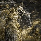 Nile crocodile in Kruger National park, South Africa Stock Images