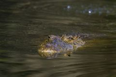 Nile crocodile in Kruger National park, South Africa. Specie Crocodylus niloticus family of Crocodylidae Stock Images