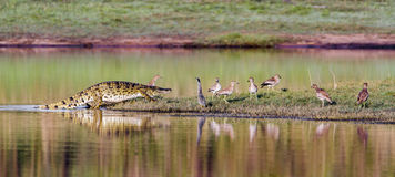Nile crocodile in Kruger National park, South Africa Stock Photography