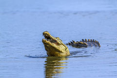 Nile crocodile in Kruger National park, South Africa. Specie Crocodylus niloticus family of Crocodylidae, Nile crocodile in Kruger National park, South Africa Stock Photography