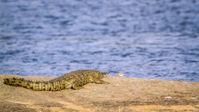 Nile crocodile in Kruger National park, South Africa Stock Photo