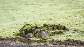 Nile crocodile in Kruger National park, South Africa Stock Image