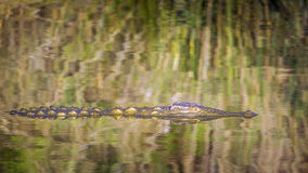Nile crocodile in Kruger National park, South Africa Royalty Free Stock Photo
