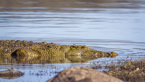 Nile crocodile in Kruger National park, South Africa Royalty Free Stock Photos