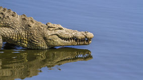 Nile crocodile in Kruger National park, South Africa. Specie Crocodylus niloticus family of Crocodylidae Stock Photography