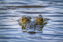Nile crocodile in Kruger National park, South Africa. Specie Crocodylus niloticus family of Crocodylidae Royalty Free Stock Images