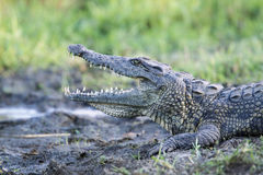 Nile crocodile in Kruger National park Stock Images