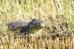 Nile Crocodile on land Stock Image