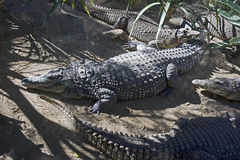 Nile crocodile 8 Royalty Free Stock Images