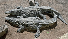 Nile crocodile 11 Stock Photos