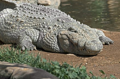 Nile crocodile 12 Stock Photo