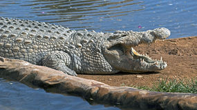 Nile crocodile 13 Stock Image