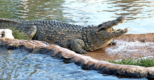 Nile crocodile 14 Royalty Free Stock Photos