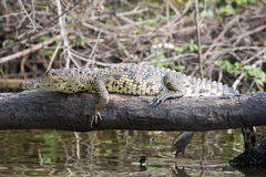 Small crocodile laying on tree trunk over lake Stock Images