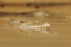 Nile Crocodile. Crocodile low in the water Royalty Free Stock Images