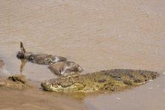 Nile Crocodile met dode het meest wildebeest, Kenia Royalty-vrije Stock Foto's