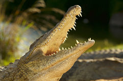 A Nile Crocodile with mouth open Stock Image