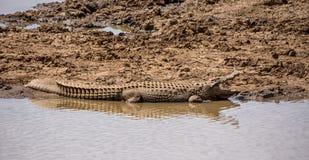 Nile Crocodile. A Nile Crocodile resting on a riverbank in the Namibian savanna Stock Photos