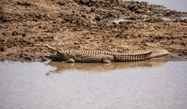 Nile Crocodile. A Nile Crocodile resting on a riverbank in the Namibian savanna Royalty Free Stock Photography