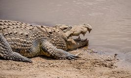 Nile Crocodile. A Nile Crocodile resting on a riverbank in the Namibian savanna Royalty Free Stock Image