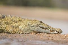 Nile Crocodile (niloticus de Crocodylus) Afrique du Sud photographie stock