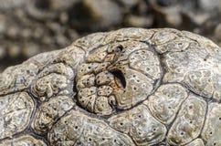 Nile Crocodile Nose immagine stock libera da diritti