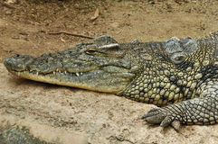 Nile crocodile. One of the largest reptiles in the world. Wild animal background Royalty Free Stock Photos