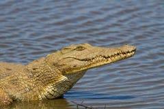 Nile Crocodile op de Rivierbank Royalty-vrije Stock Foto's
