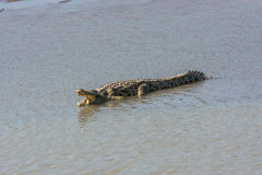 Nile crocodile with open mouth Stock Photo