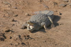 Nile Crocodile please put your foot in Royalty Free Stock Images