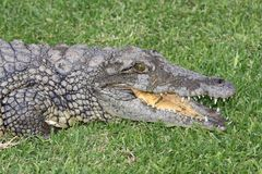 Nile Crocodile Portrait Stock Photography