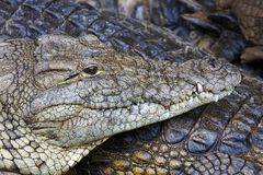 Nile crocodile portrait Royalty Free Stock Photo