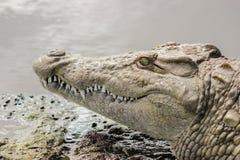 Nile crocodile portrait. Nile crocodile closeup portrait in Kruger Natioanal park stock photo