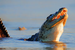 Nile crocodile raising out of water Stock Photo