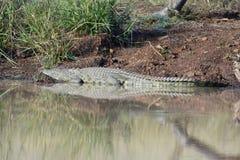 Nile Crocodile Reflection Images libres de droits