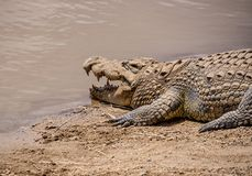 Nile Crocodile. A Nile Crocodile resting on a riverbank in the Namibian savanna Royalty Free Stock Images