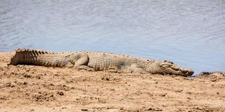 Nile Crocodile. A Nile Crocodile resting on a riverbank in the Namibian savanna Stock Photo